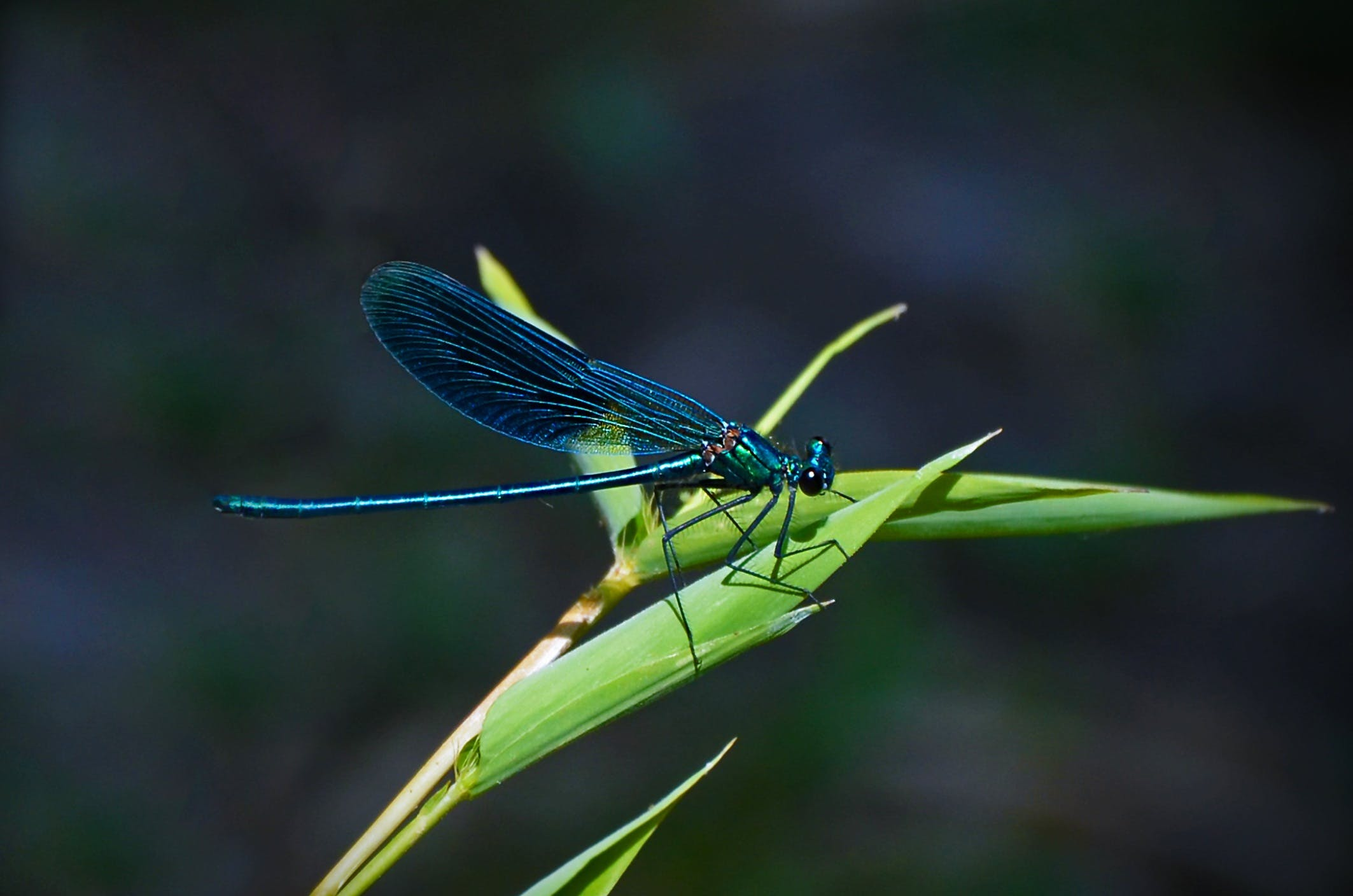 Teal Dragonfly on a Green Leafed Plant during Daytime