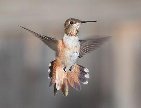 White Brown and Black Hummingbird