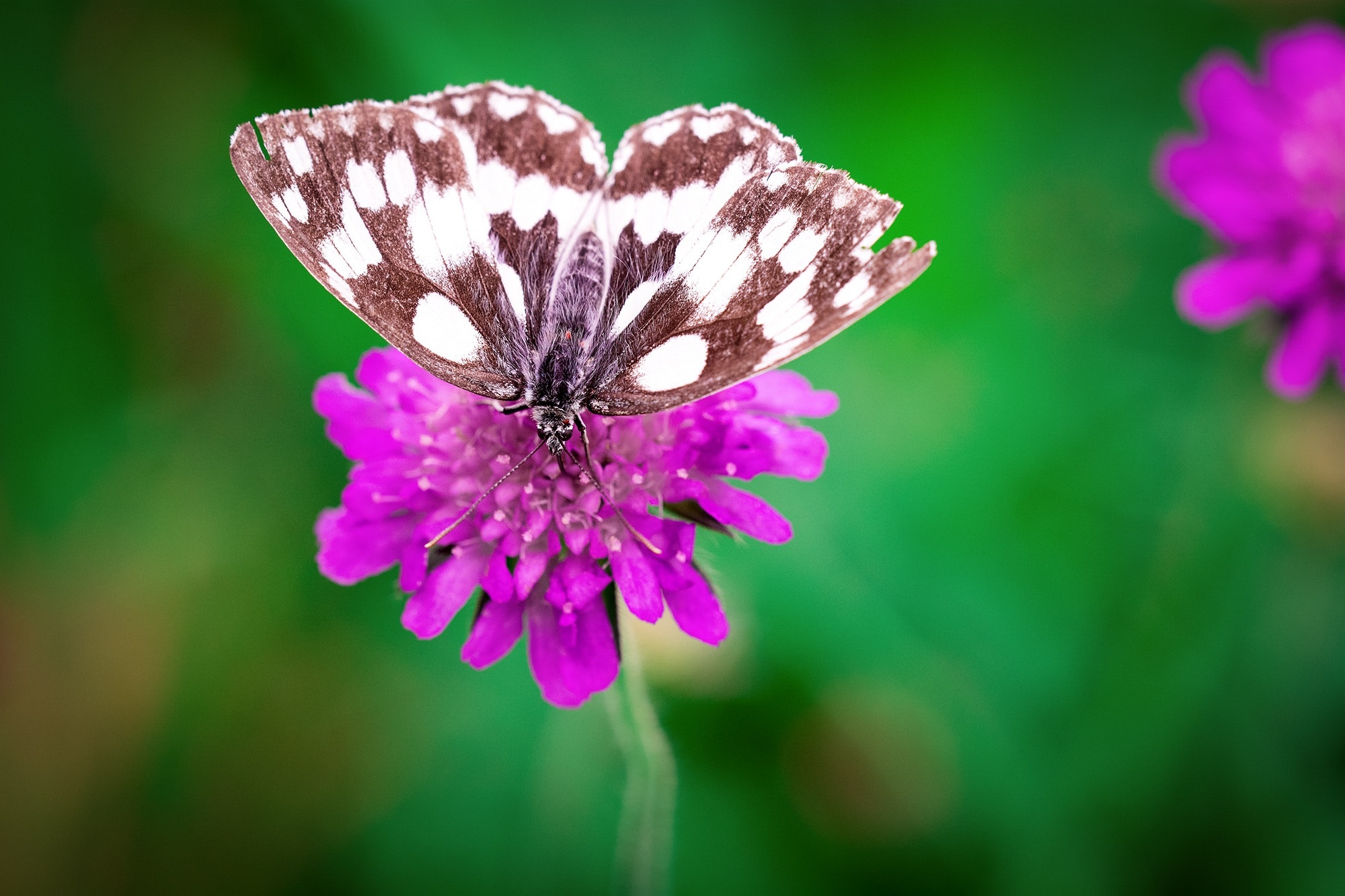 White Brown Butterfly Perched On Pink Flower 183 Free Stock