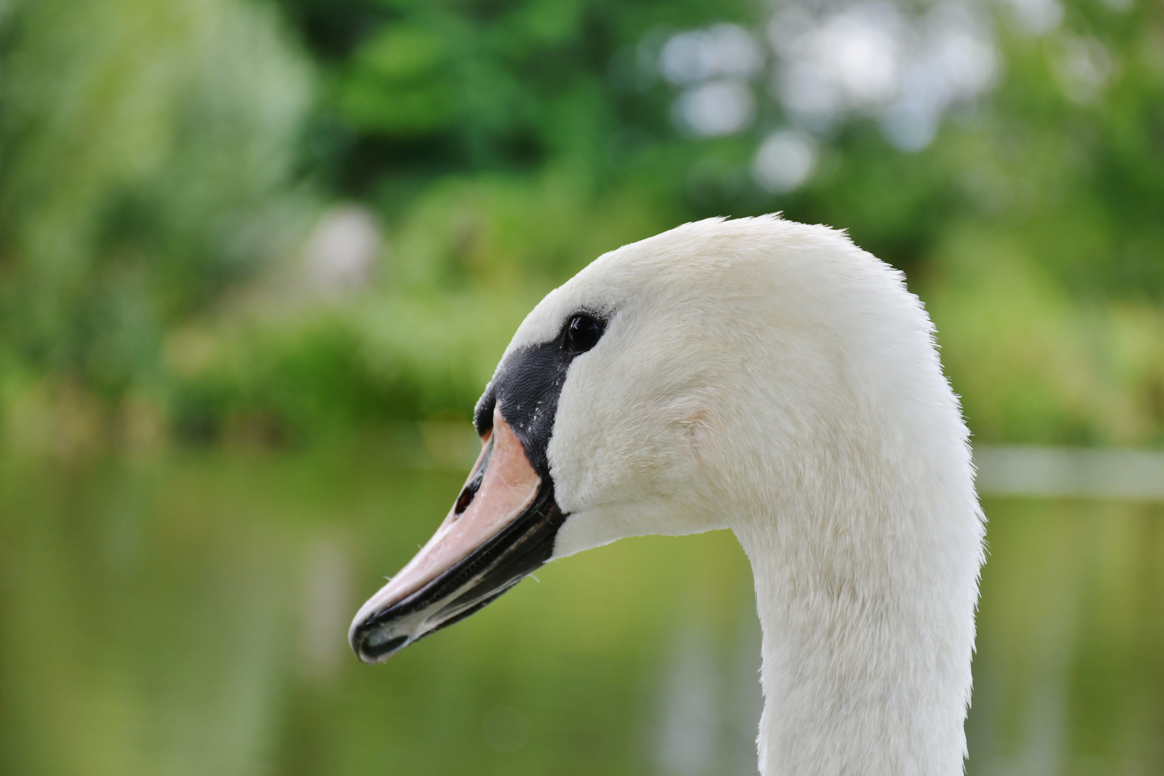 White and Black Swan in Sahllowphotography