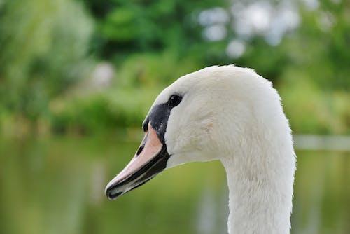 Fotobanka sbezplatnými fotkami na tému detailný záber, divočina, labuť, perá