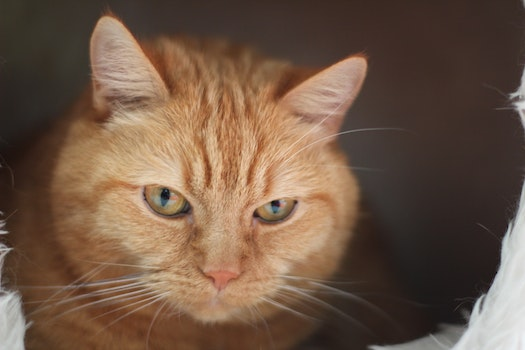 Close Up Photo of Orange Tabby Cat