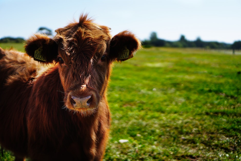 Brown Cattle on Green Lawn Grass during Daytime