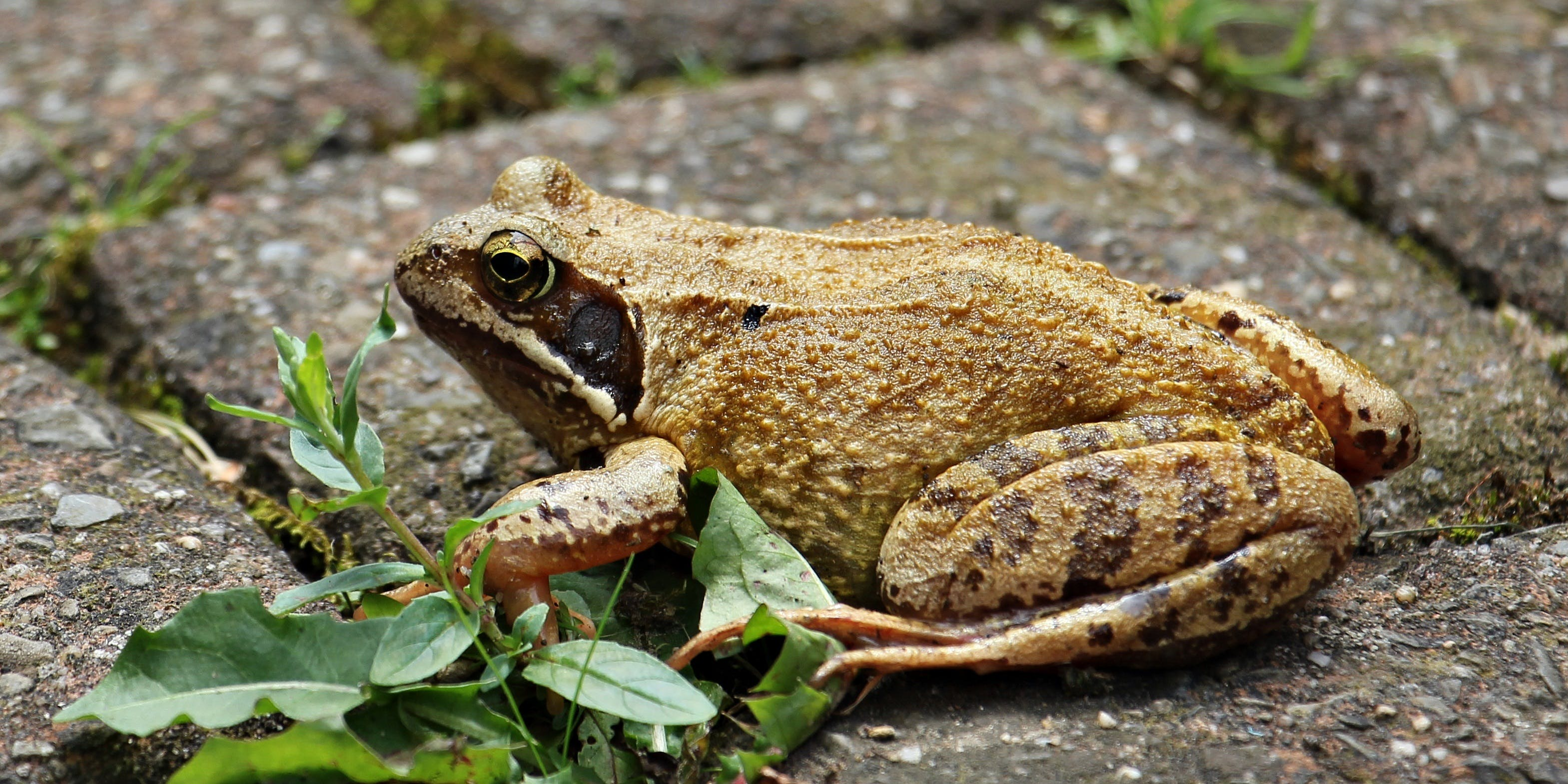 Brown and Black Frog
