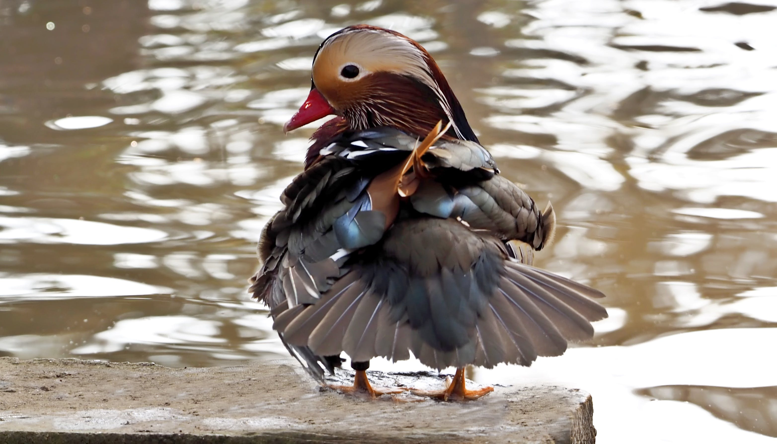 Brown Red and Black Duck on Grey Concrete Surface Near Body of Water
