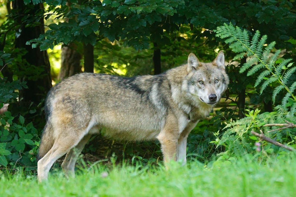 Коричневый волк стоит на зеленой траве