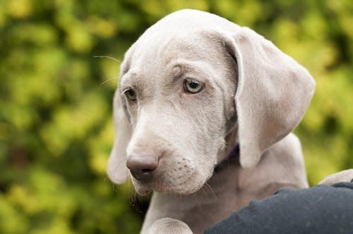 Gratis lagerfoto af close-up, dyr, fokus, hund