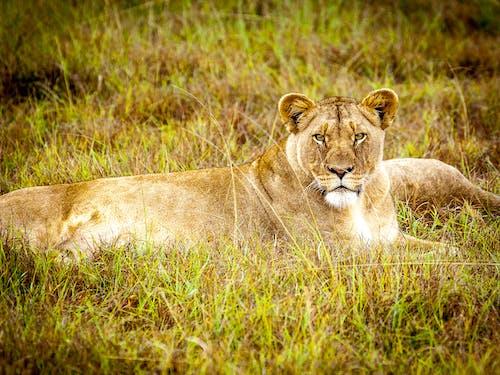 Photos gratuites de animal, animal sauvage, brouiller, carnivore