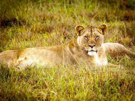 Brown Lioness