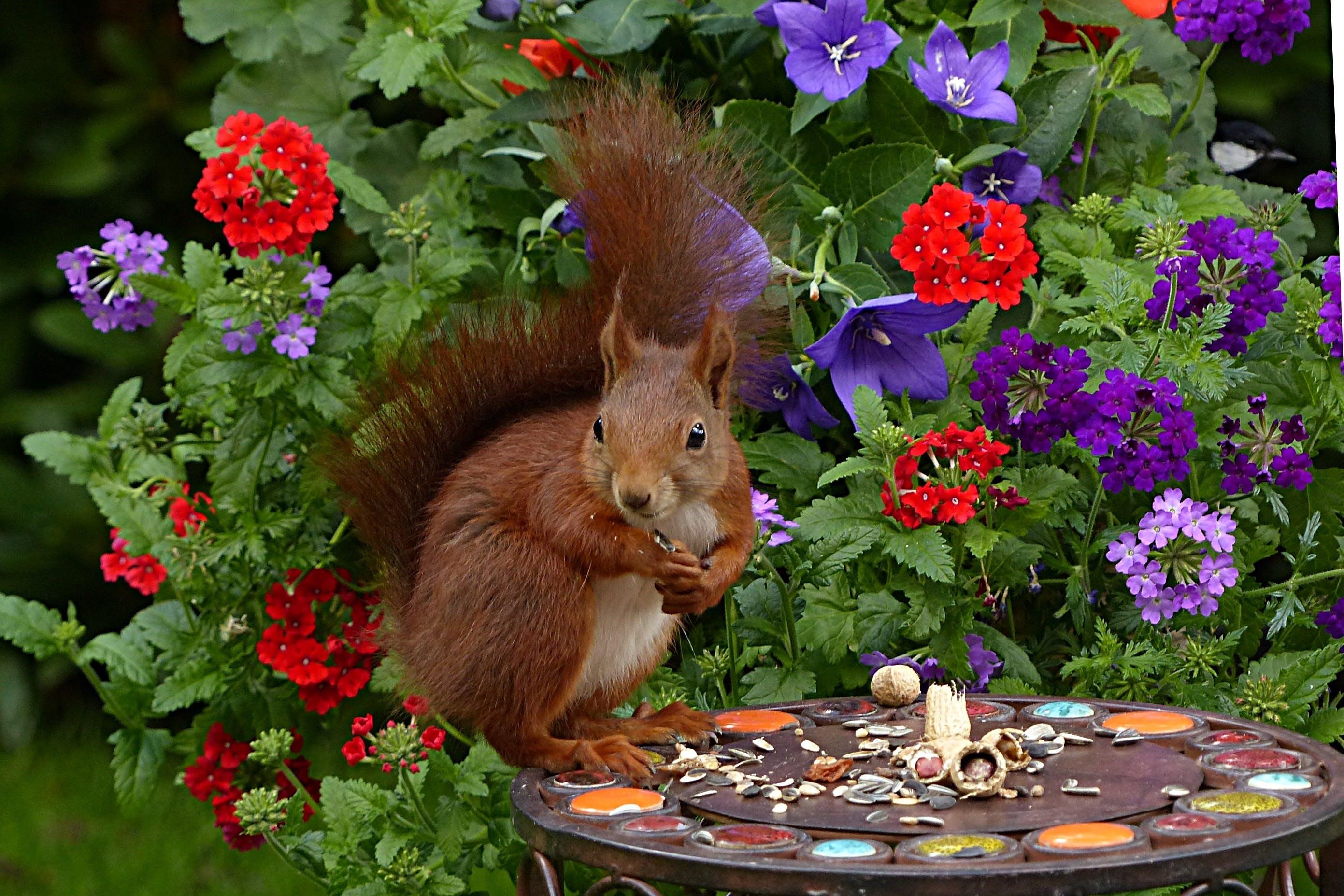 Free stock photo of garden, young, squirrel, mammal