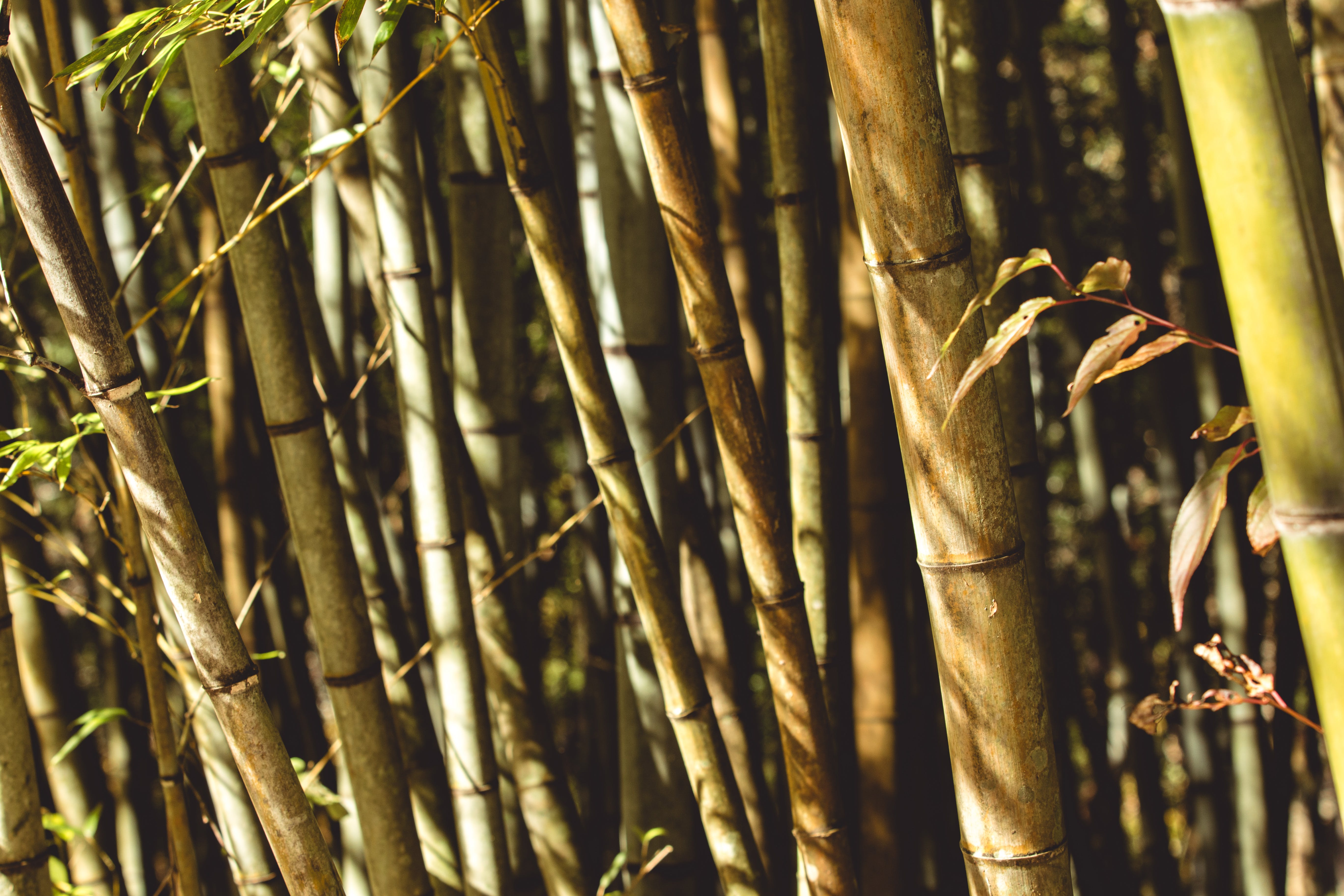 Free stock photo of #bamboo, #japan