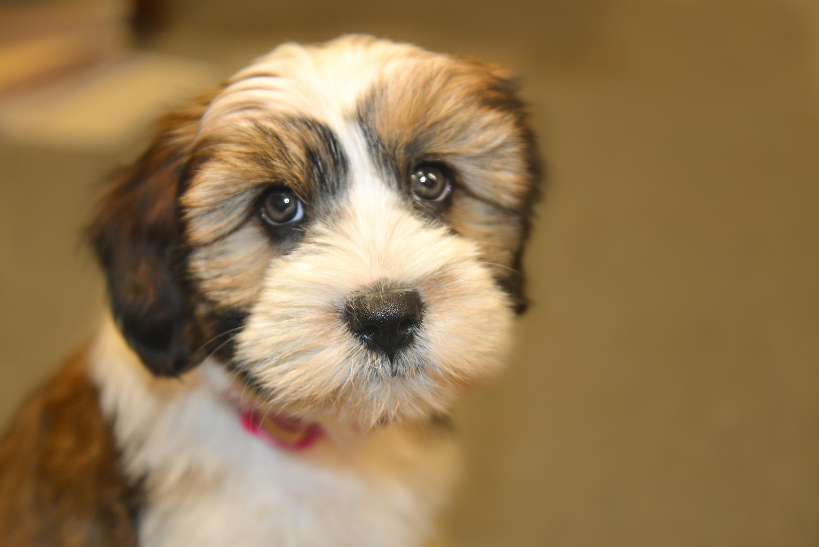 Close Up Photo of Shih Tzu Puppy