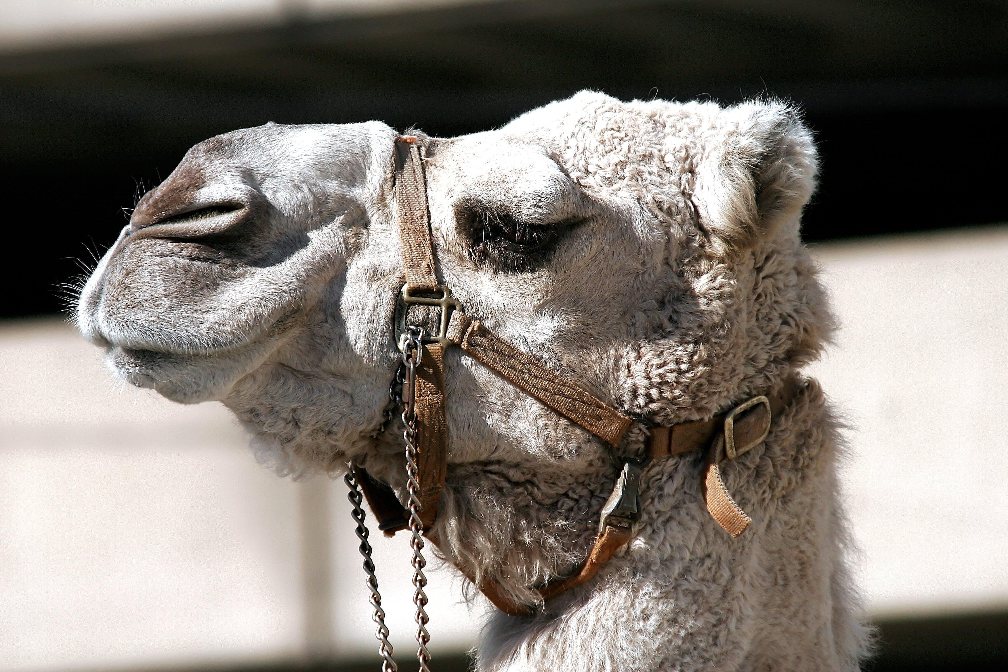 Photos gratuites de amusant, animal, chaîne, chameau