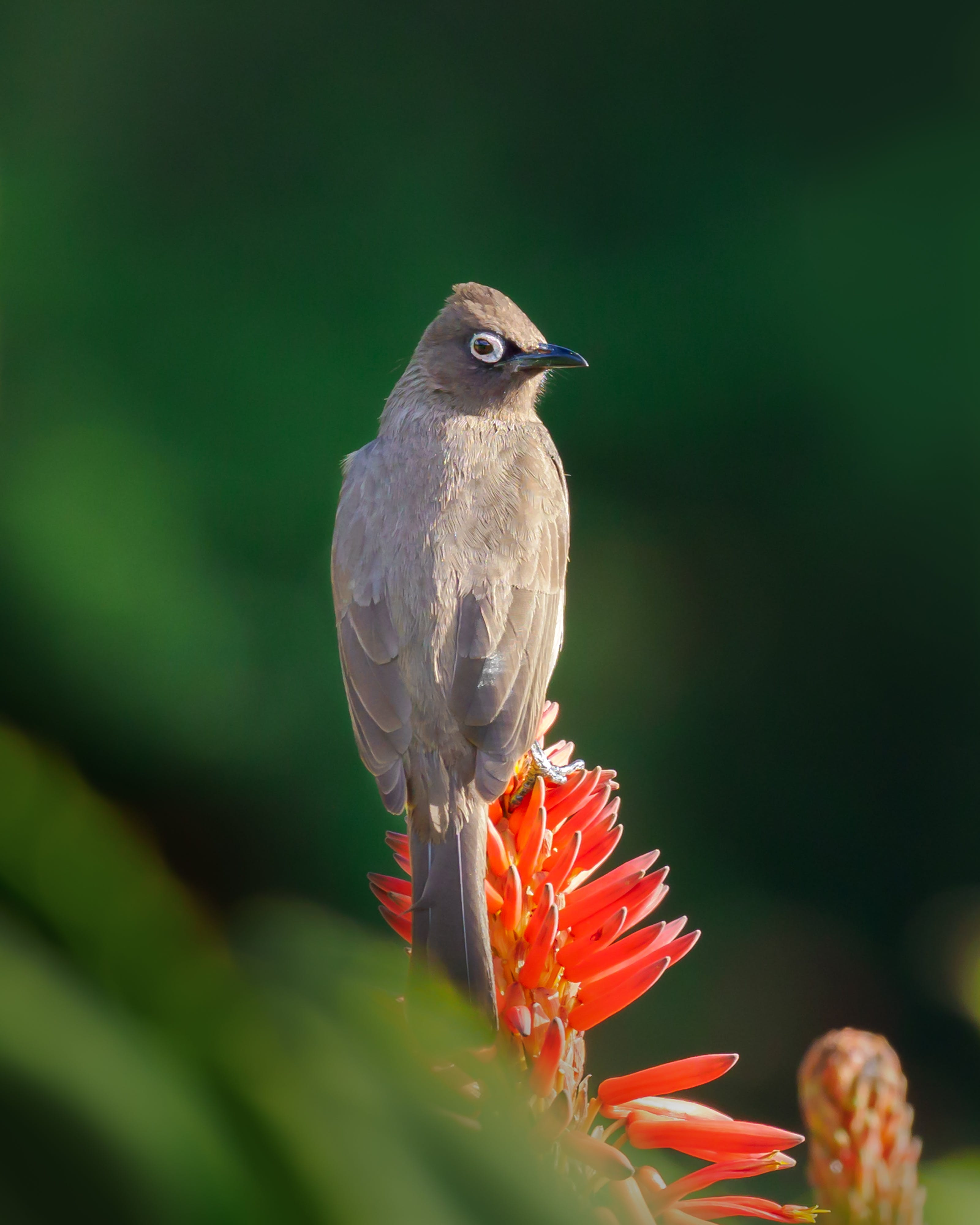 Brown Bird Perched on Red Flower