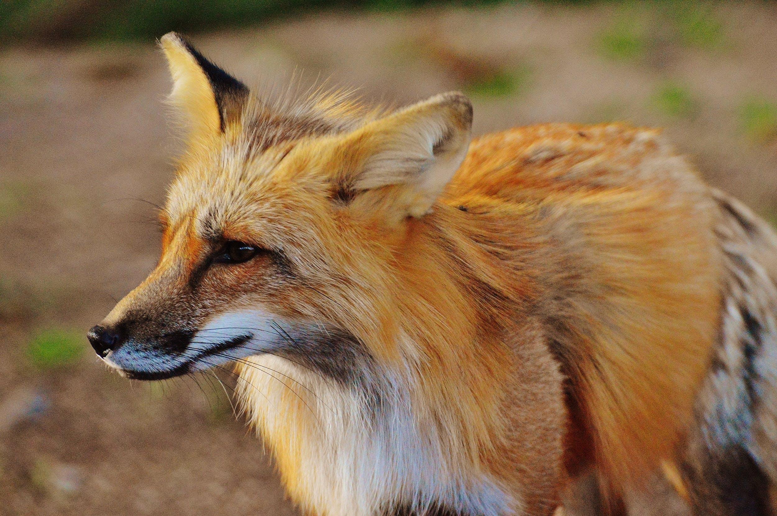 Close Up Photo of True Fox Animal at Daytime
