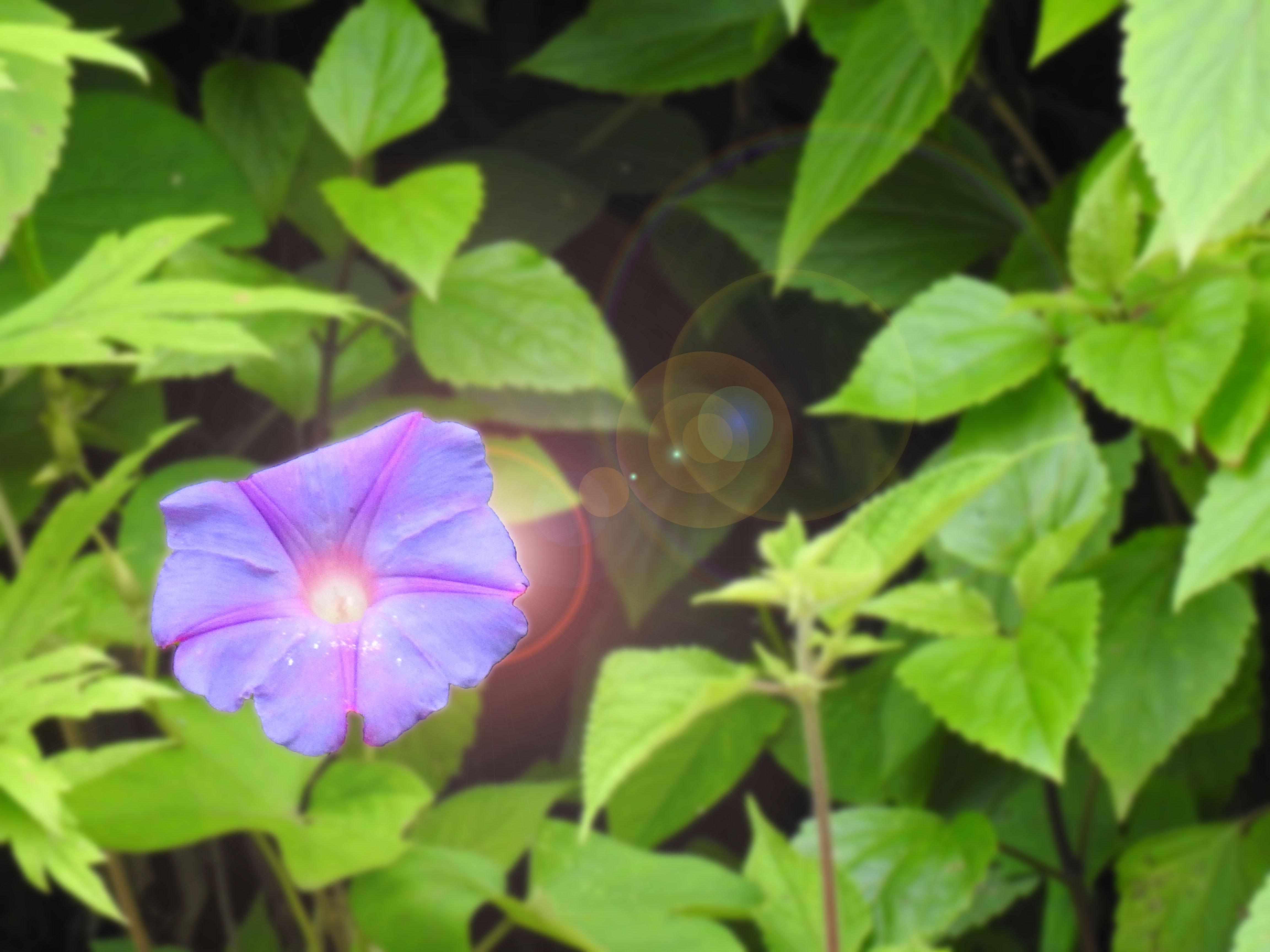 83+ Gambar Bunga Kecubung Kekinian