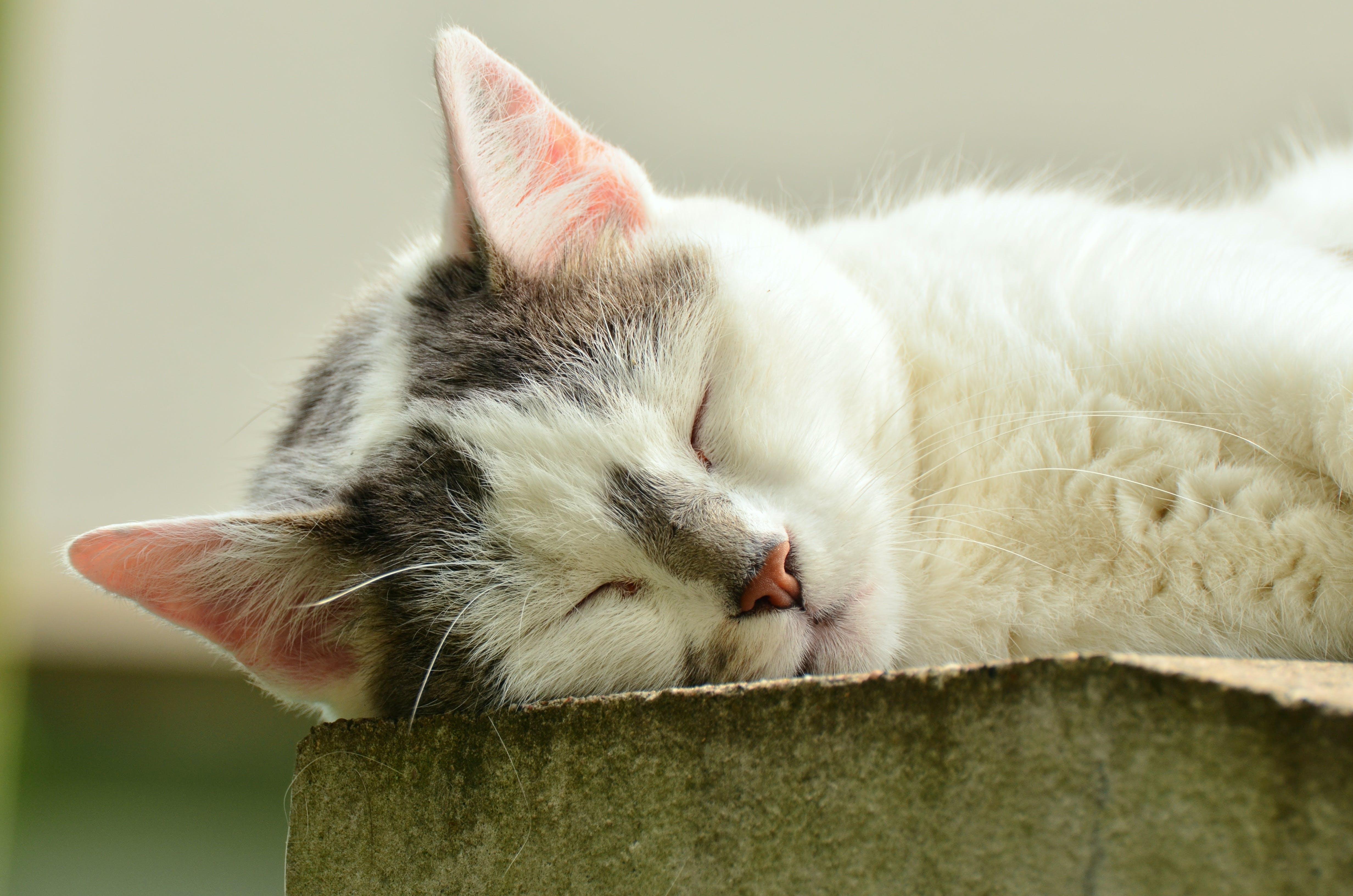 Free stock photo of pet, fur, cat, adidas