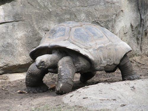 Imagine de stoc gratuită din animal, broască țestoasă, cochilie, faună sălbatică