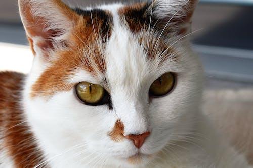 Ilmainen kuvapankkikuva tunnisteilla eläin, karvainen, katsominen, kilpikonnakuvioinen kissa
