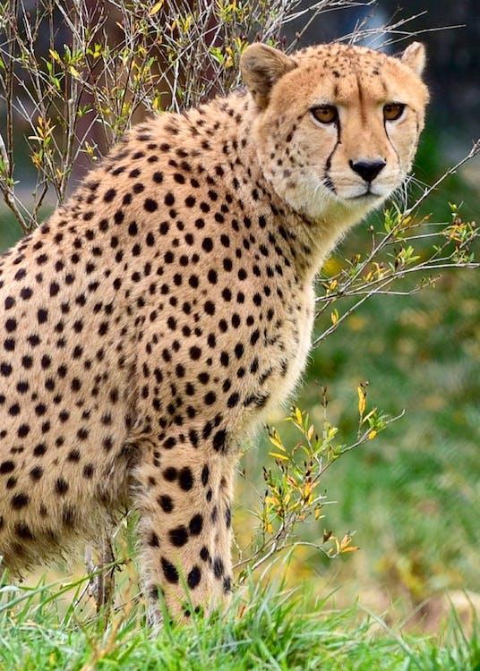 afrikansk, close-up, dyr