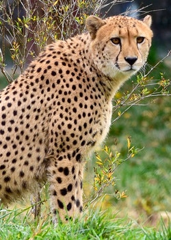 Cheetah in Green Grass Lawn