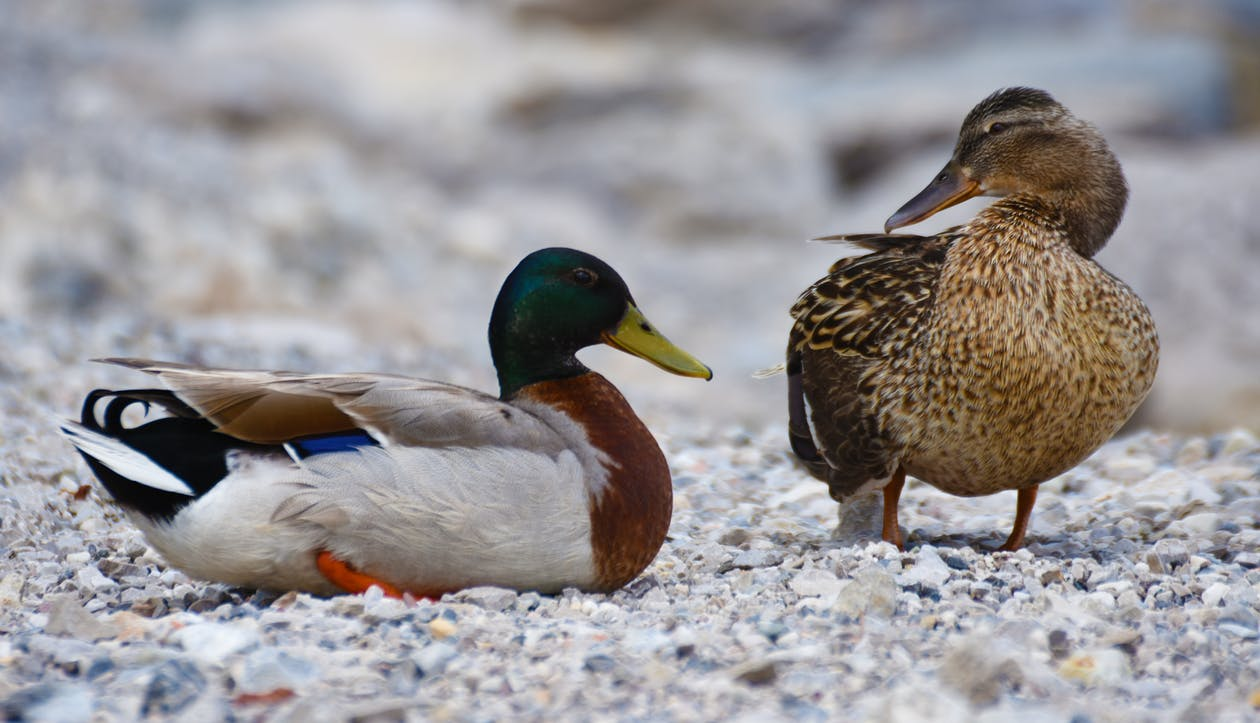 Mallard Duck and Brown Duck Standing on the Stone during Daytime