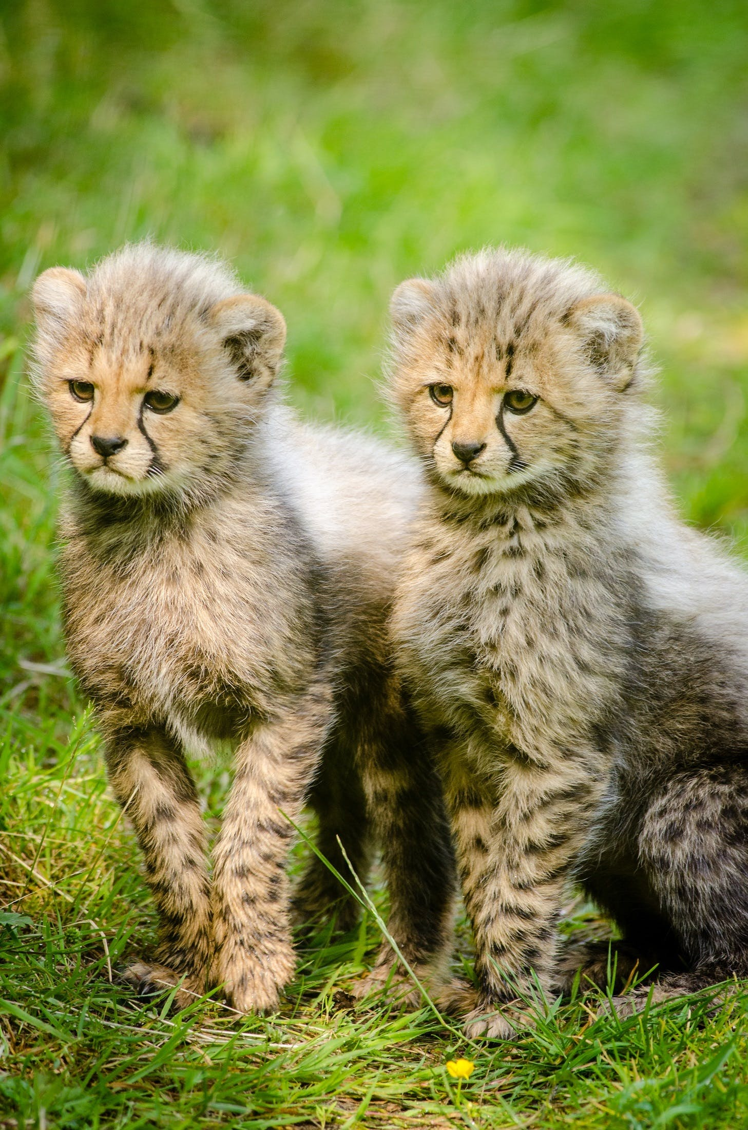2 Yellow and Black Cheetah Sitting Together