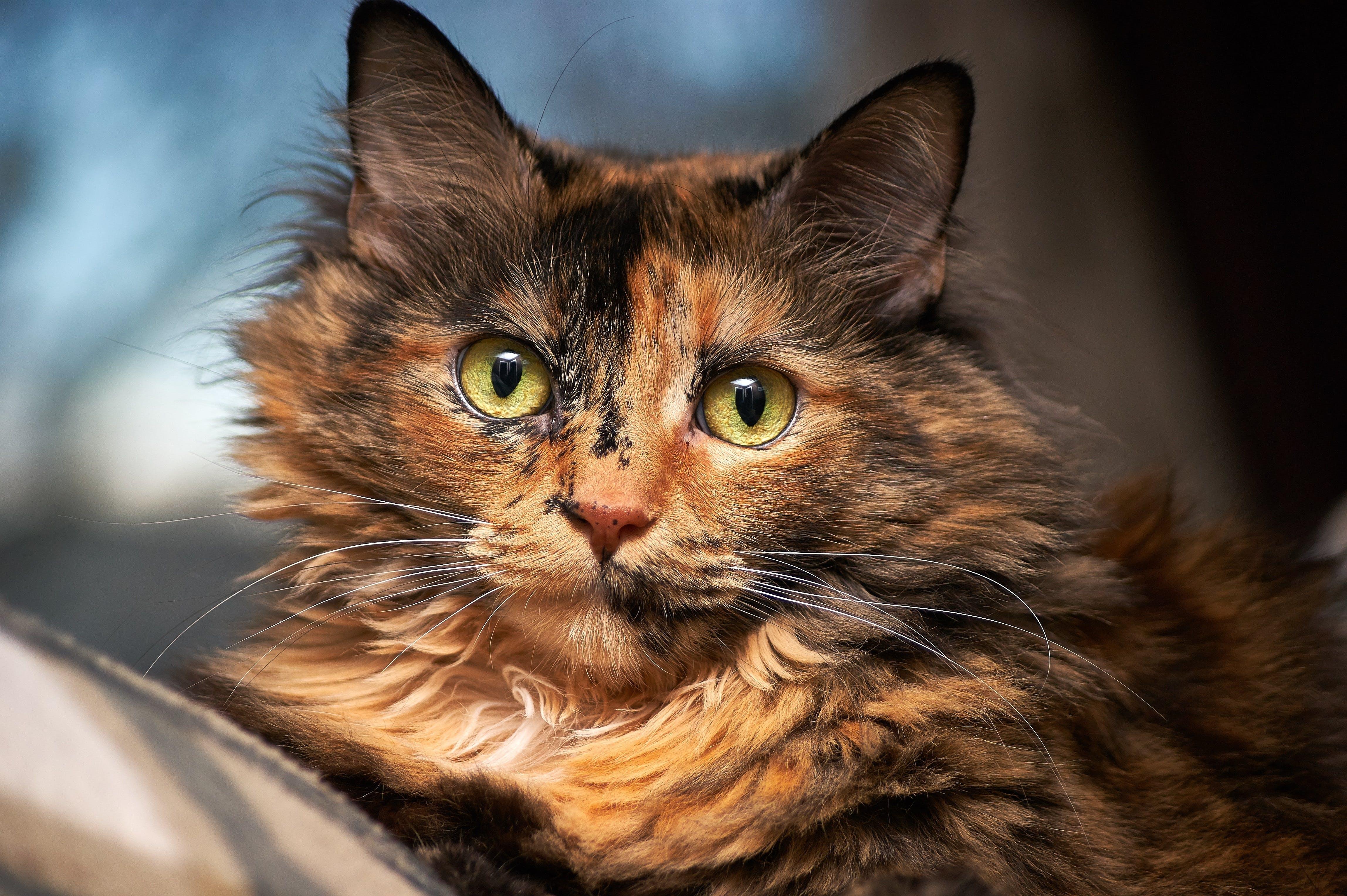 Tortoiseshell Cat in Selective Focus Photography