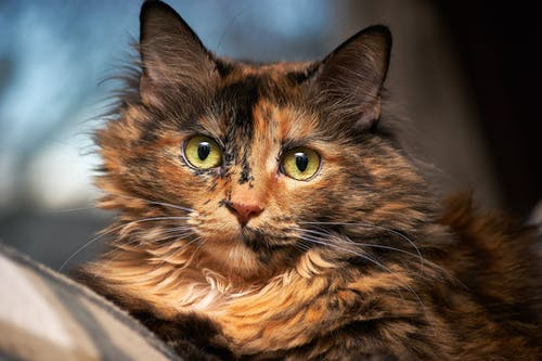Tortoiseshell Cat in Selective Focus Photography