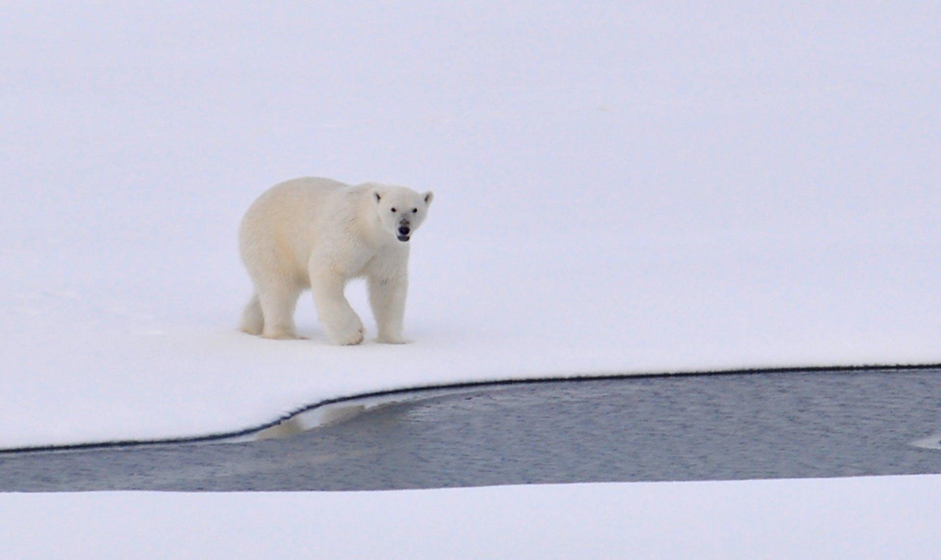 Kostenloses Stock Foto zu arktis, eis, eisbär, eisig