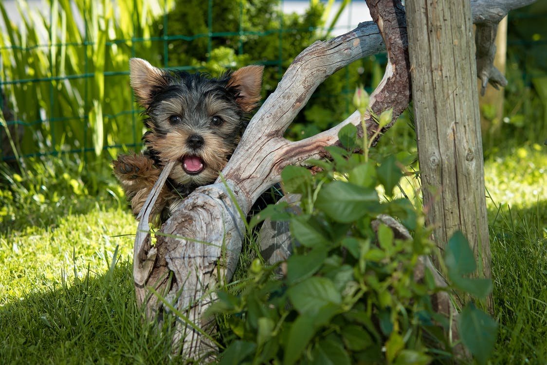 Yorkshire Terrier Puppy Hiding Behind Tree Root
