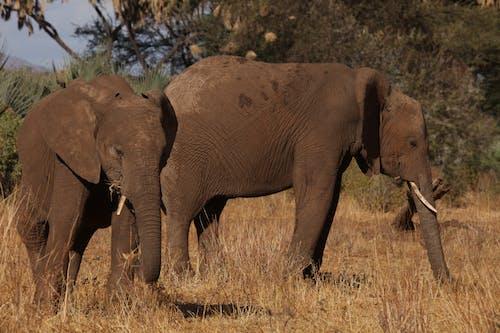 Foto d'estoc gratuïta de animals, animals salvatges, elefant africà, elefants