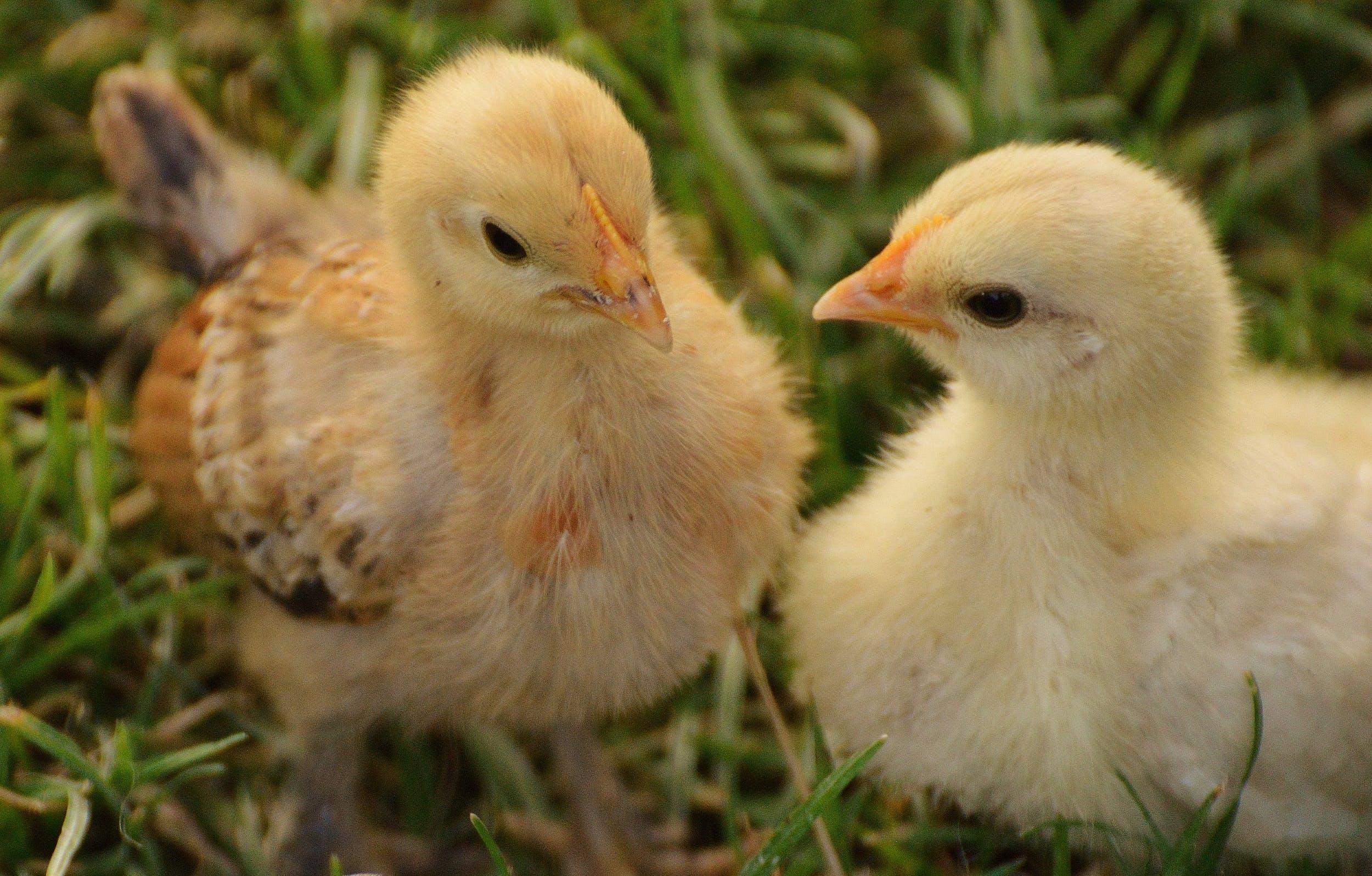 Gratis stockfoto met beesten, chicks, close-up, gras