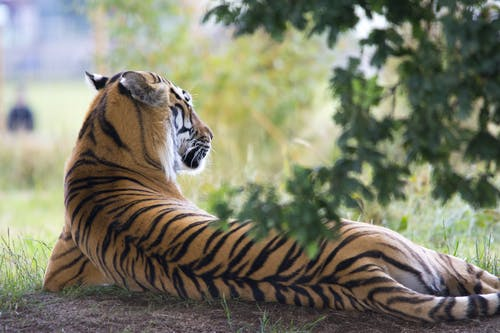 Tiger Lying Down during Daytime