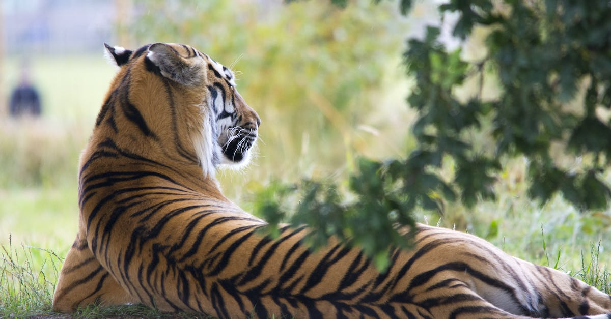 Tiger Lying Down during Daytime · Free Stock Photo