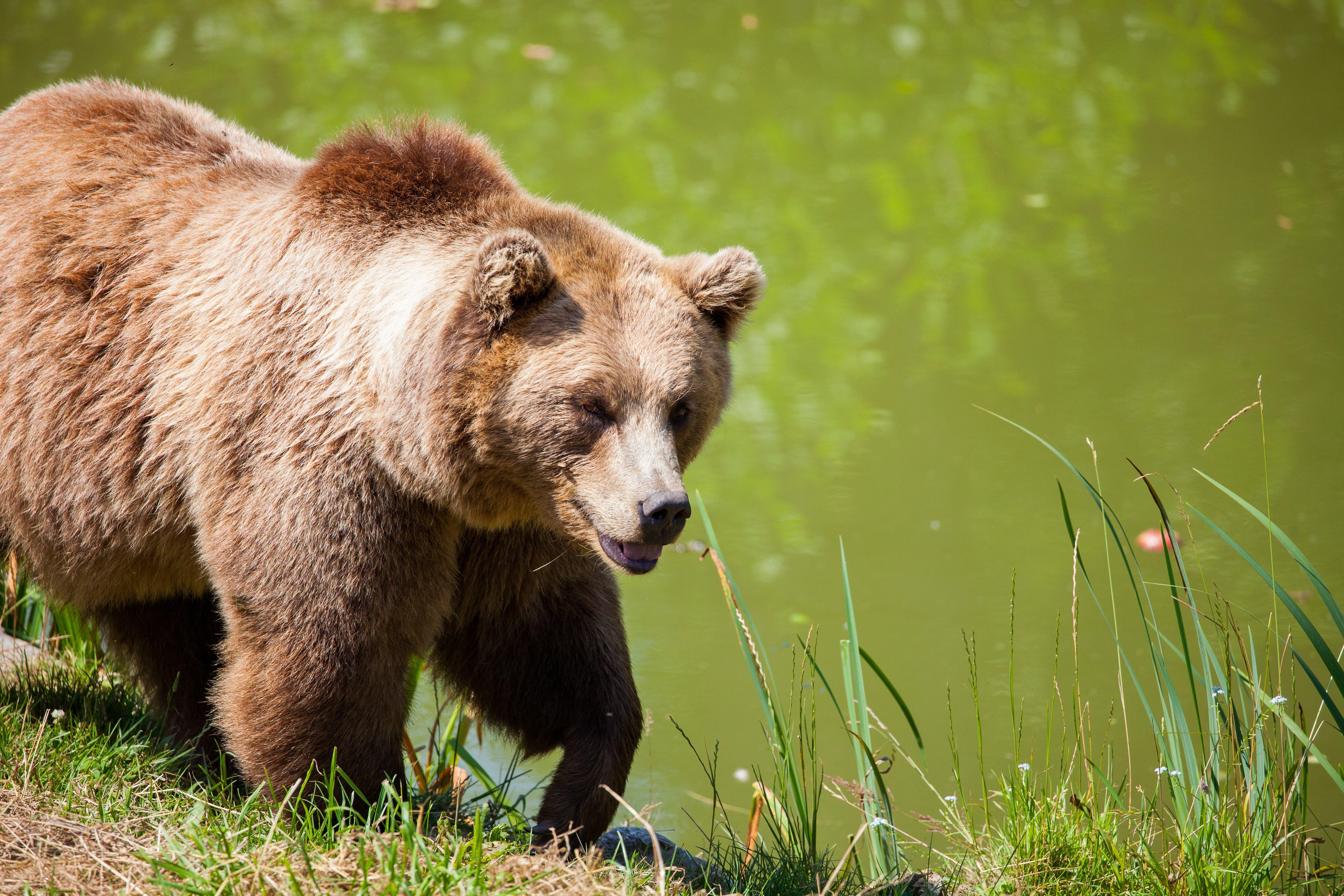 chlupatý, divočina, medvěd