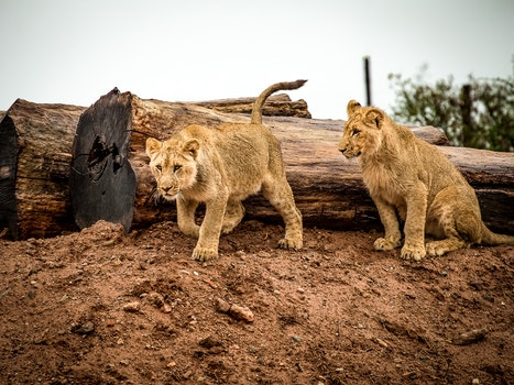 Lioness Beside Wood Trunk during Daytime