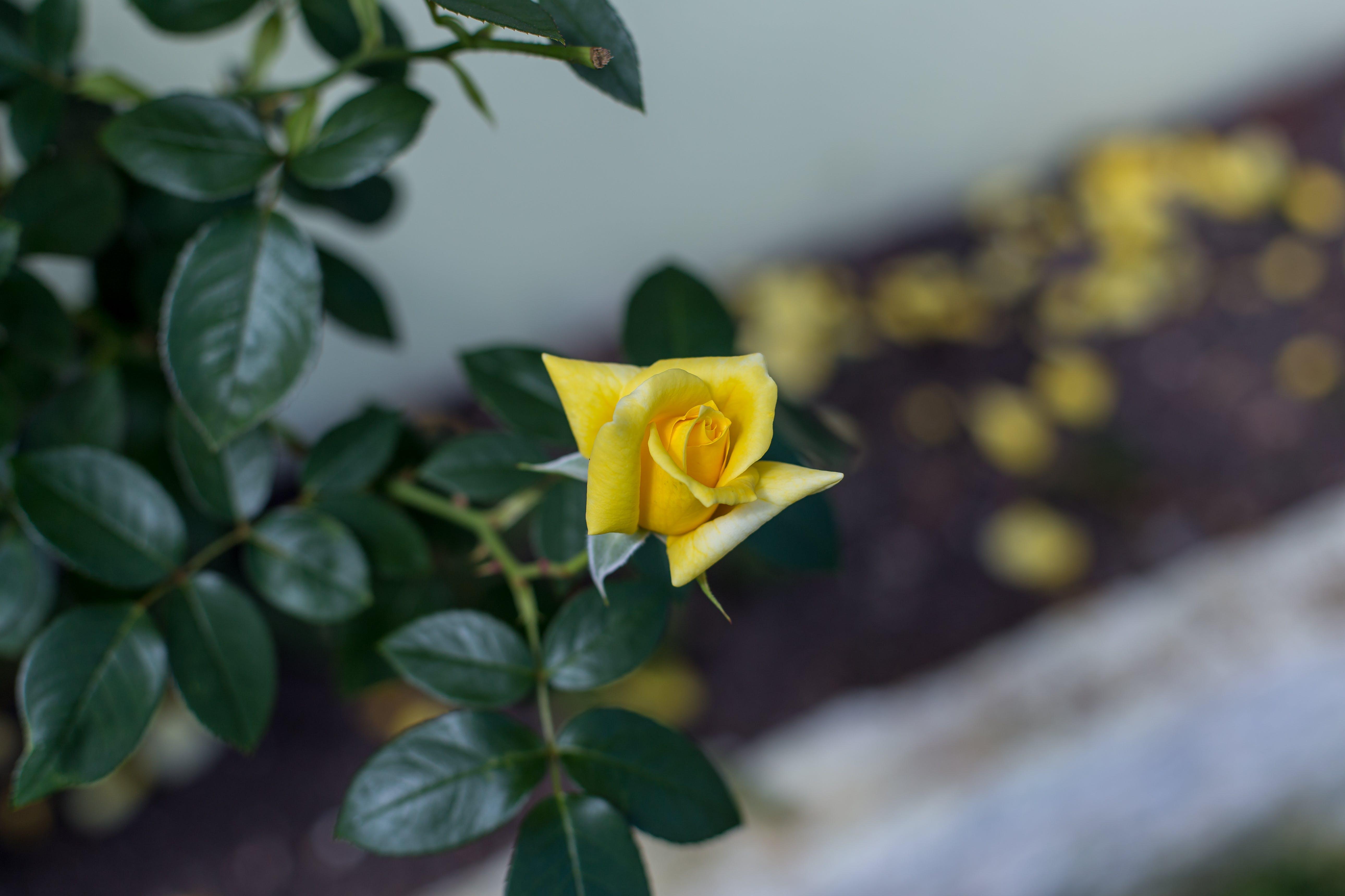 天性, 玫瑰, 花, 黃花 的 免費圖庫相片