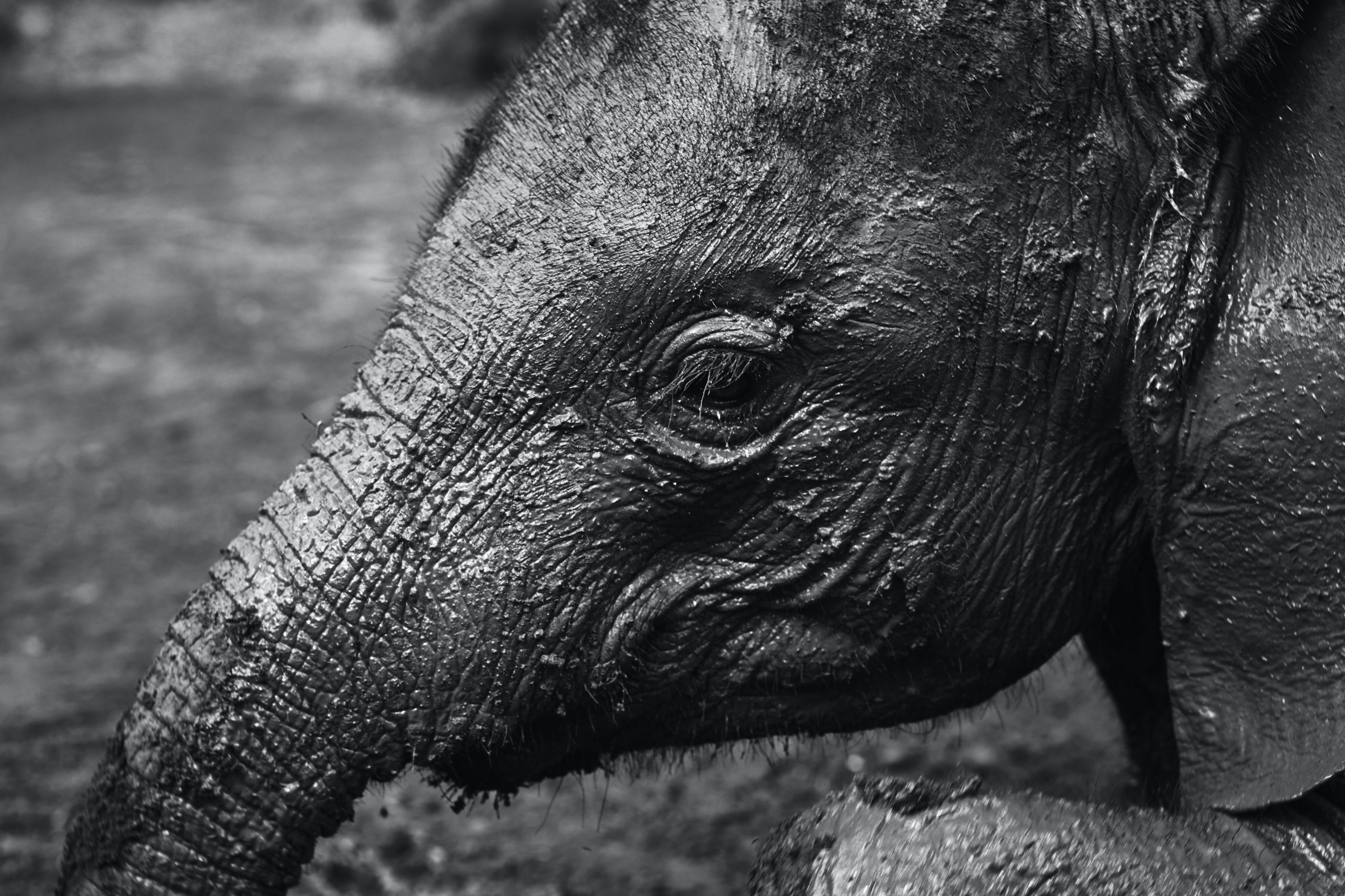 Close-up of Elephant Calf