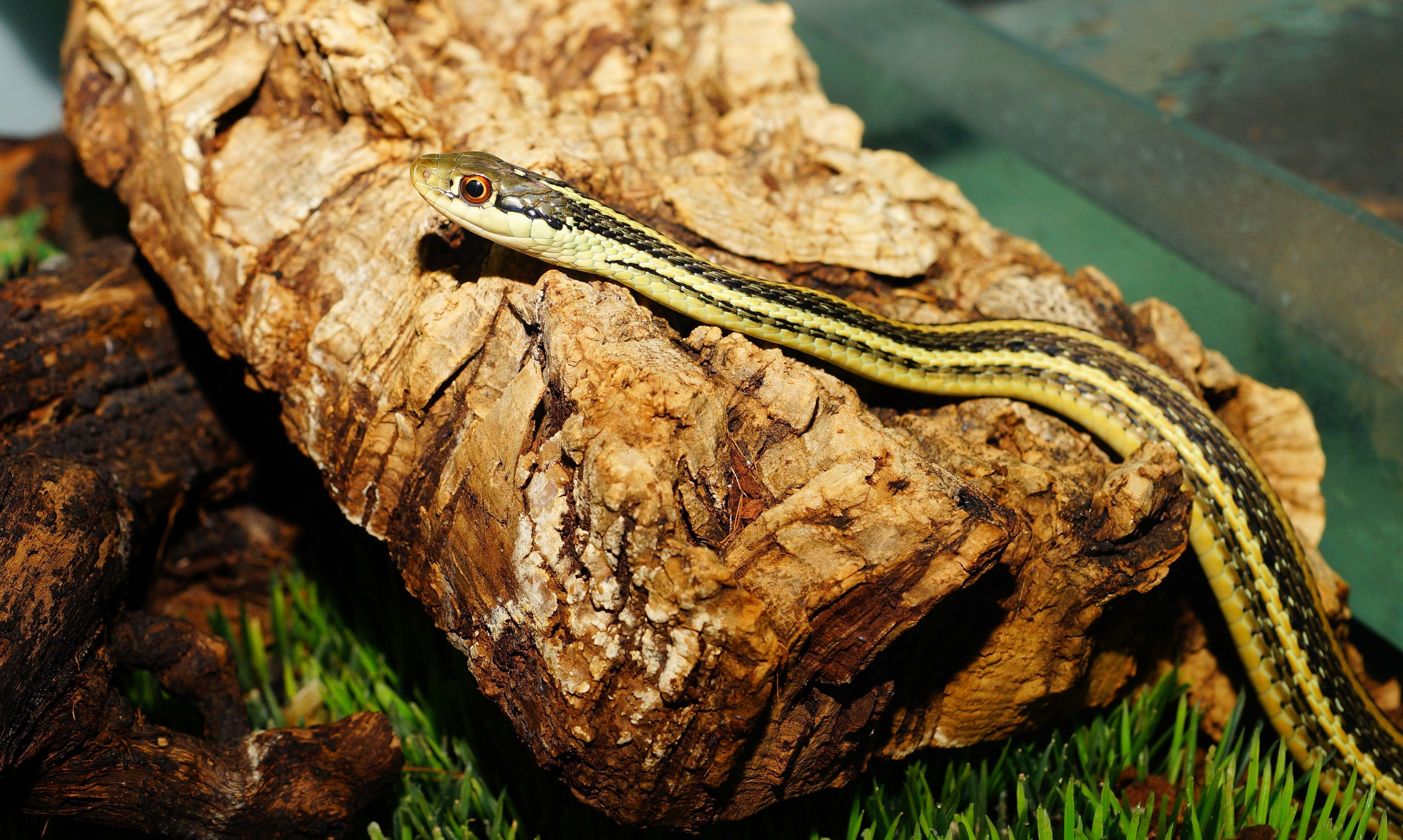 Garter Snake on Stone
