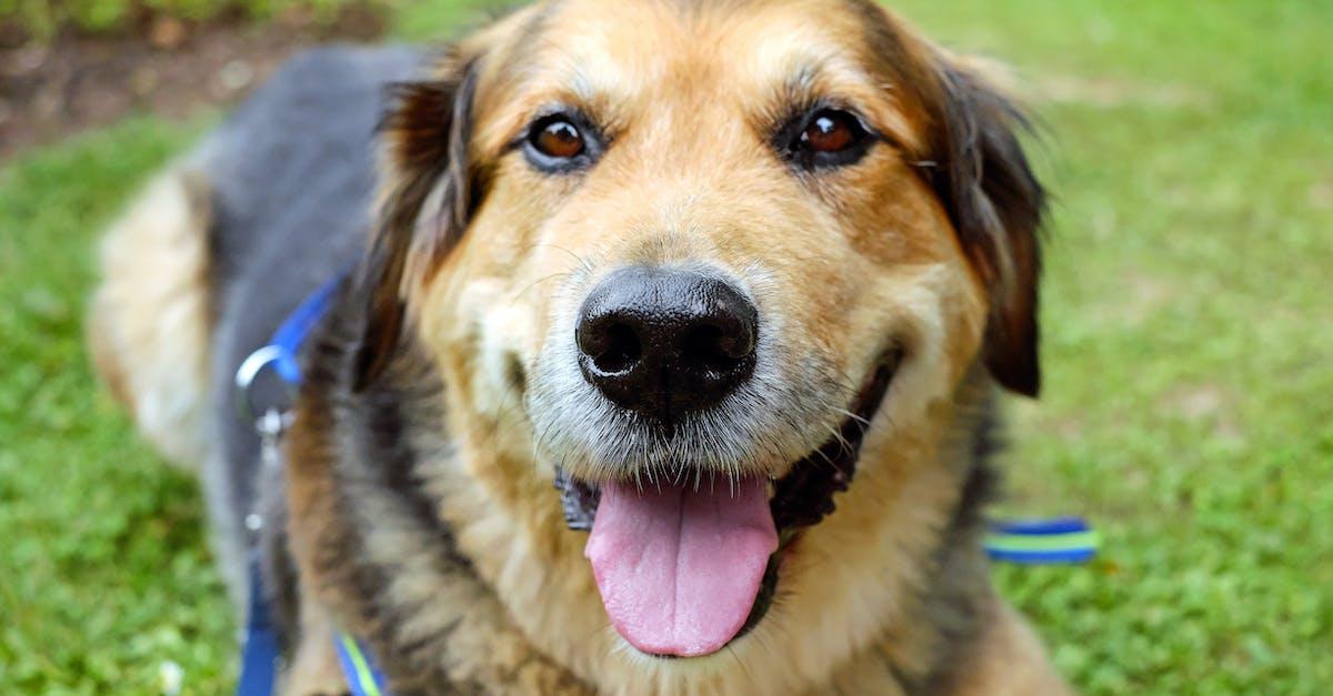 German Shepherd Dogs In Need Australia