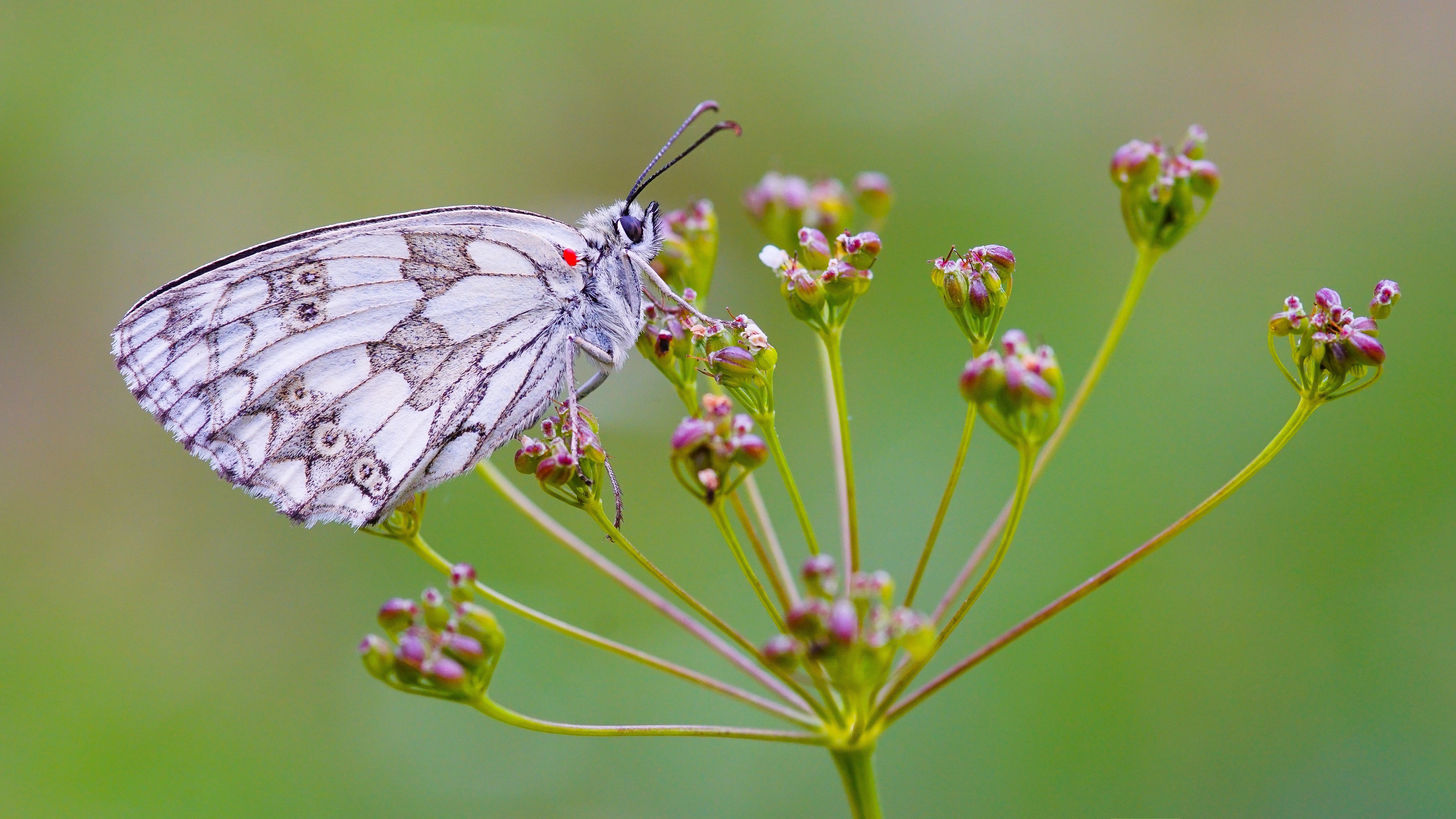 White and Gray Butterfly on Red Flower during Daytime