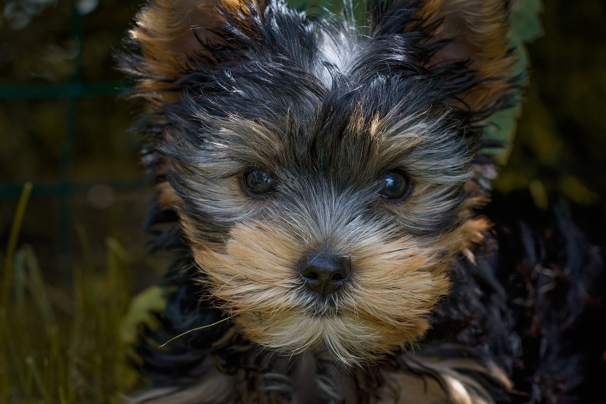 Black and Tan Yorkshire Terrier Puppy Closeup Photography
