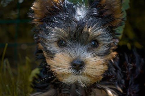 Безкоштовне стокове фото на тему «великий план, Йоркширський тер'єр, милий, собака»
