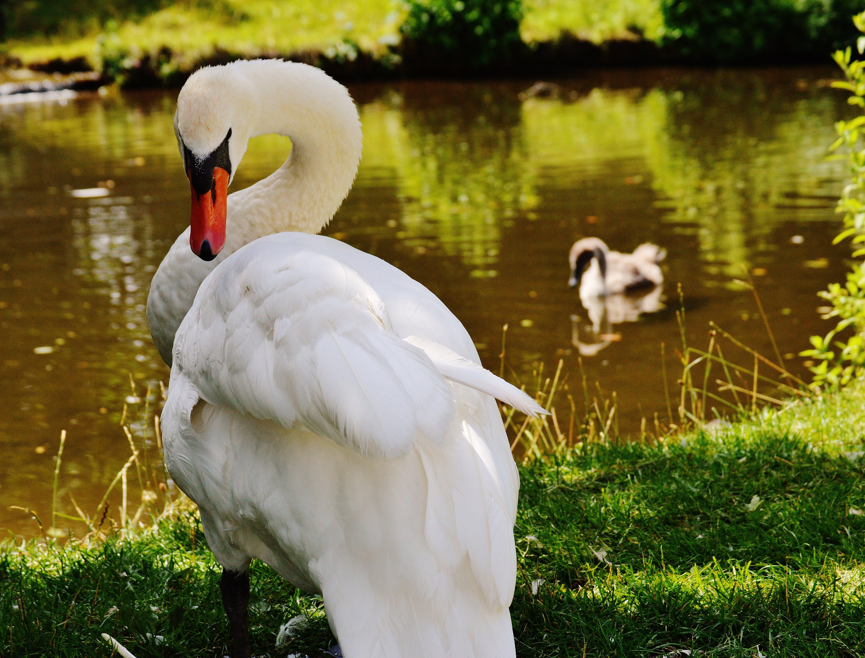 White Goose Close Up Photo