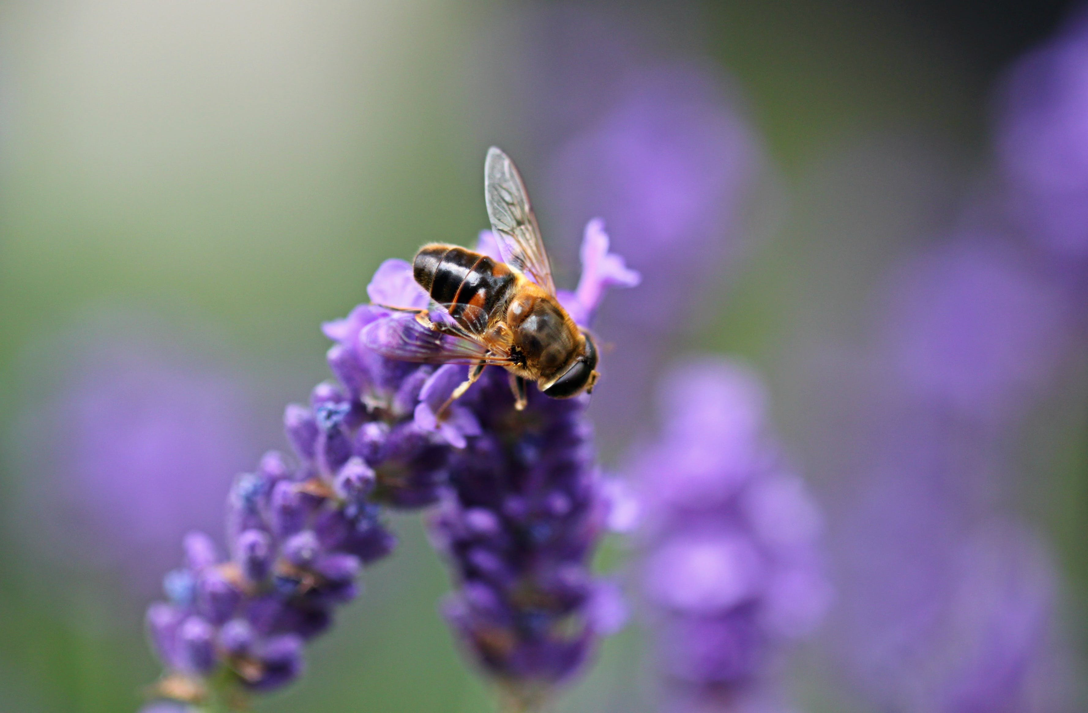 Bee on Purple Lavender