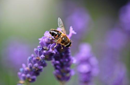 Bee on Purple Lavender