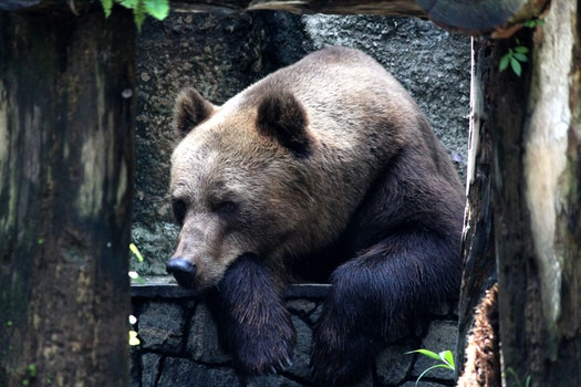 Brown Grizzly Bear on Black Metal Fence