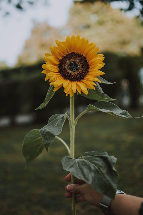 Kostnadsfri bild av armbandsur, blomma, blommor, blomning