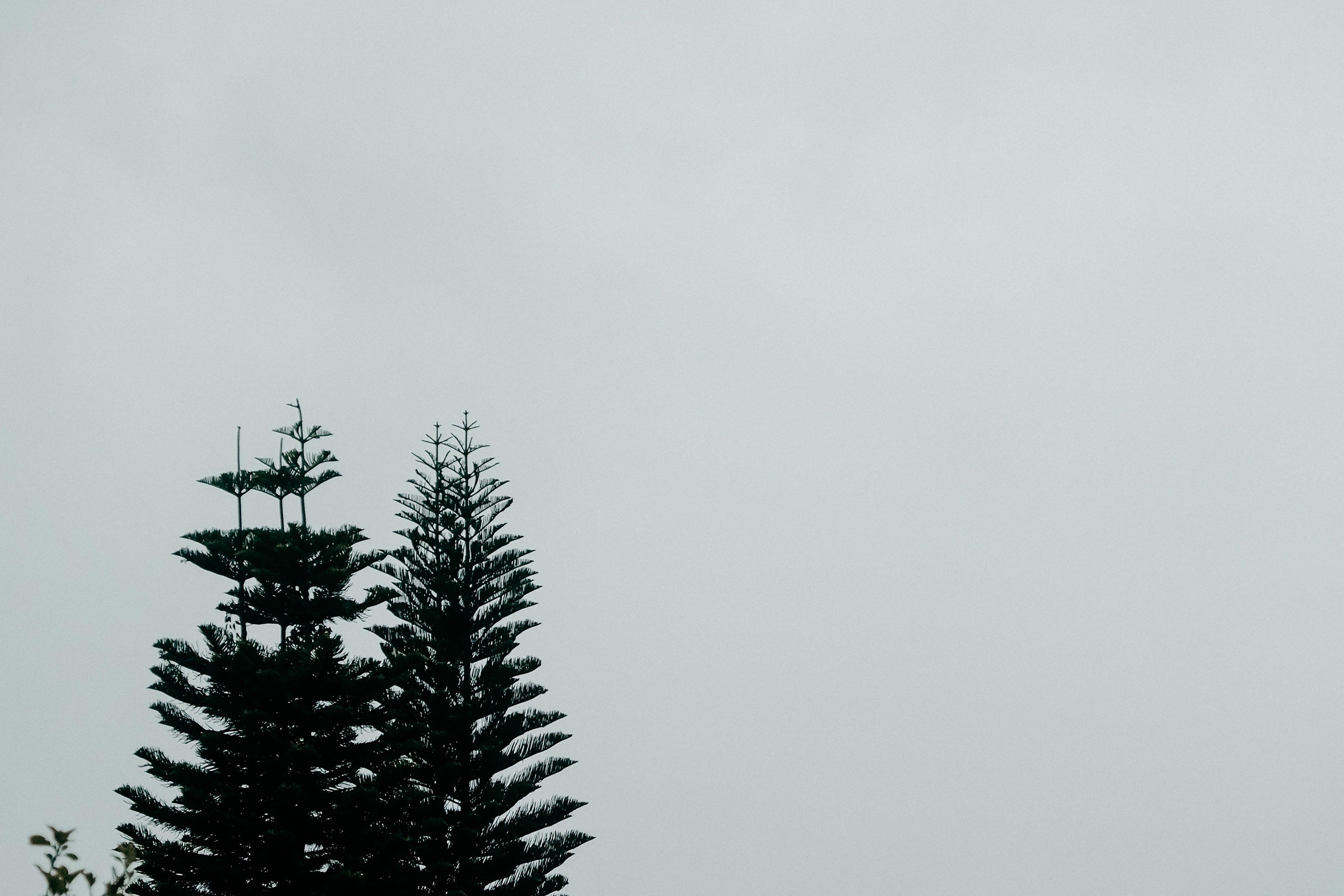 Pine Tree Under White Sky